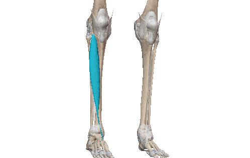 すねが痛い原因は足の関節の軌道